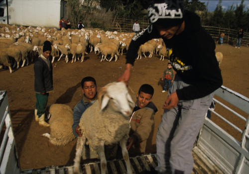 loading-sheep-crop.jpg