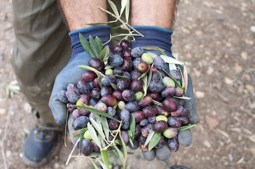 holding-olives-for-site.jpg